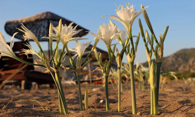 Çıralı'da Koruma Altındaki Kum Zambakları İlgi Görüyor