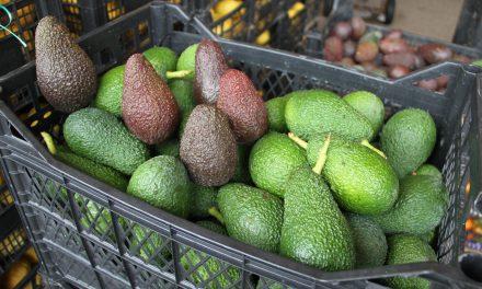 Avokado üretiminde hedef 60 milyon adet